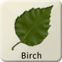 Celtic Druid Tree - Birch