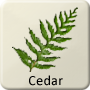 Celtic Druid Tree - Cedar