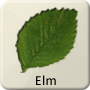 Celtic Druid Tree - Elm