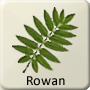 Celtic Druid Tree - Rowan