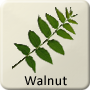 Celtic Druid Tree - Walnut