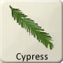 Celtic Tree - Cypress