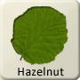 Celtic Tree - Hazelnut