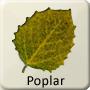 Celtic Tree - Poplar