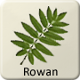 Celtic Tree - Rowan