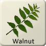 Celtic Tree - Walnut