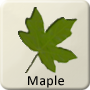 Celtic Druid Tree - Maple